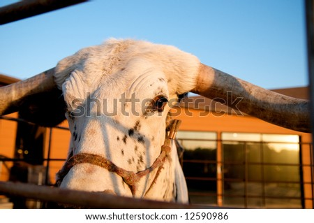 Close up image of a texas longhorn steer - stock photo