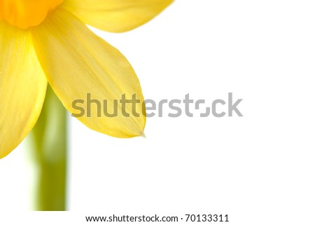 Close-up image of a yellow narcissus blossom with white copy space which can be used as background.