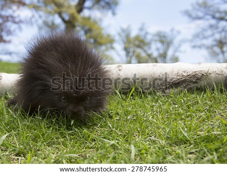 Close up image of a young, north american porcupine. - stock photo