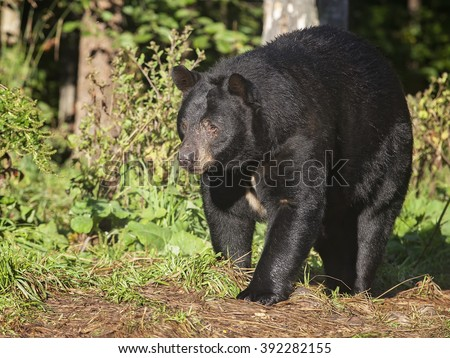 Close up image of an American black bear in late summer.  Orr, Minnesota.