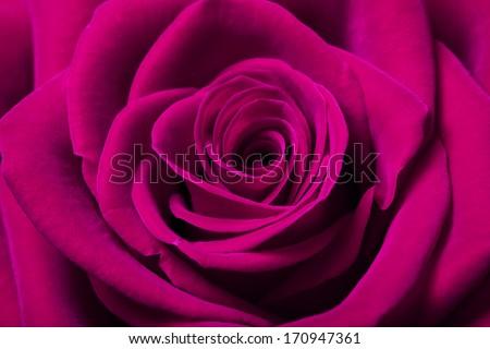 Close up image of beautiful magenta rose - stock photo