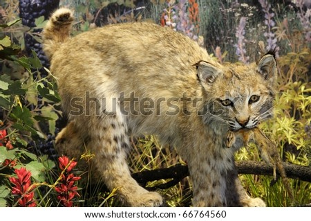 Close up image of bobcat with kill - stock photo
