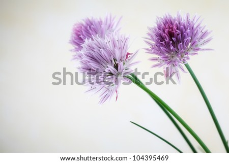 Close-up image of chive blossoms.