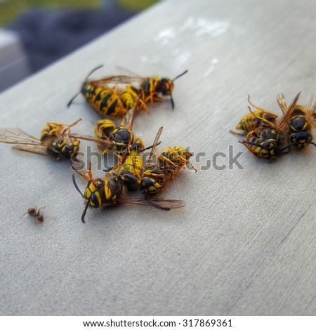 Close Up Image of Eight Dead Wasps and a Single Ant on Wooden Surface - Pest Extermination - stock photo