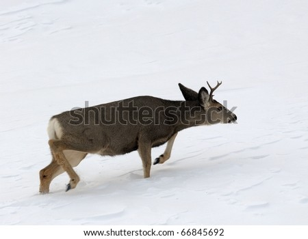 Close up image of forked-horn deer in rut