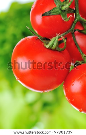 Close up image of fresh red tomatoes on the plant in garden - stock photo