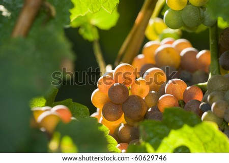 Close up image of grapes bunches on the vine ready for harvest