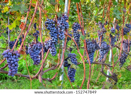 Close-up image of grapes in the vineyards of Piedmont region in Northern Italy. - stock photo