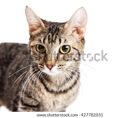Close-up image of pretty young adult tabby cat