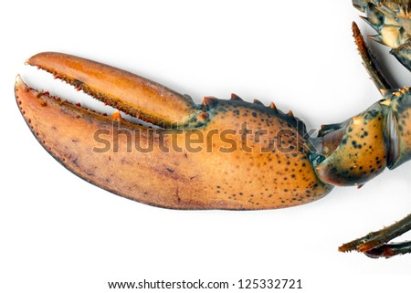 Close-up image of raw lobster focusing the claw isolated on a white background - stock photo