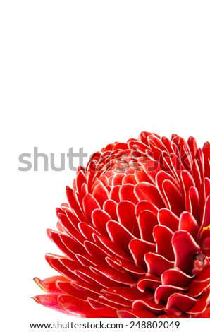 Close up image of Red torch ginger flower isolate on white background - stock photo