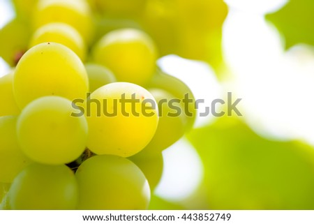 Close-up Image of Ripe Bunche of White Wine Grapes on Vine - stock photo