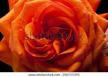 Close up image of single orange rose  - stock photo