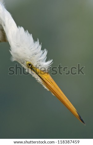 Close-up image os Great Egret about to strike his prey. - stock photo
