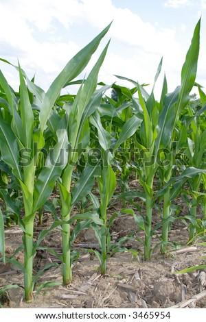 Close up immature corn plants - stock photo