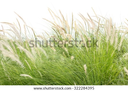Close up Imperata cylindrica Beauv of Feather grass on white - stock photo