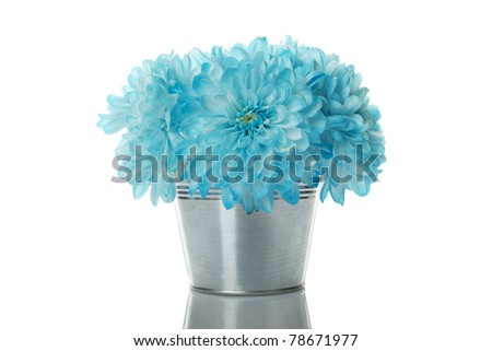 Close-up in a pail blue chrysanthemums. Isolated