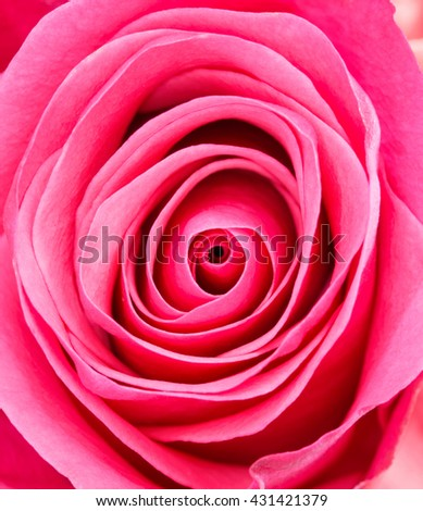 Close up in center of beautiful soft pink rose - stock photo