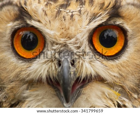 Close up Indian Eagle Owl public display, staring at the camera. With reflections in the eyes of the environment with people  - stock photo