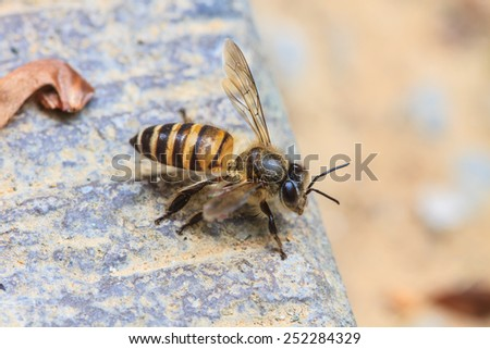 close up insect, bee on the ground - stock photo