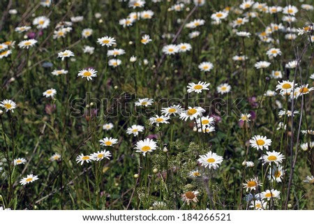 close-up isolated beautiful white daisies on summer meadow