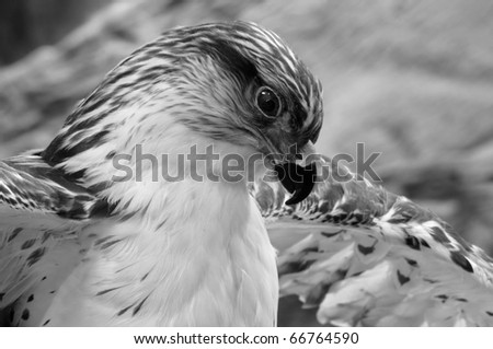 Close up isolated iamge of hawk - stock photo