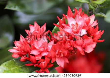 Close up ixoras, lovely small tiny red flowers in groups with natural environment outdoor under sunlight with green background - stock photo