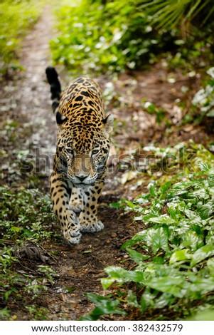 Close up jaguar Panthera onca walking on trail heading toward photographer - stock photo