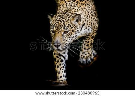 close up Jaguar Portrait - stock photo