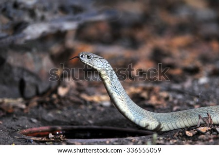 Close up, king cobra drinking water. - stock photo