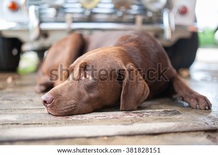 Close Up Labrador dog sleepy - stock photo