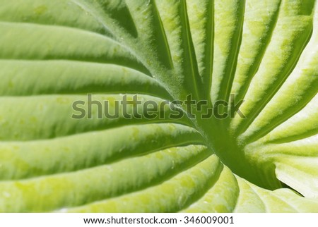 close up leaf of hosta