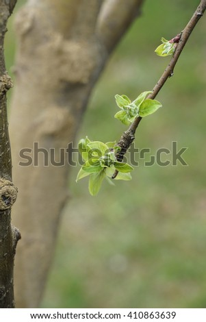 Close-up leaves bud and branches - stock photo