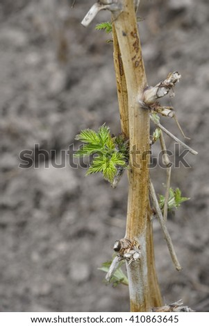 Close-up leaves bud and branches in spring - stock photo