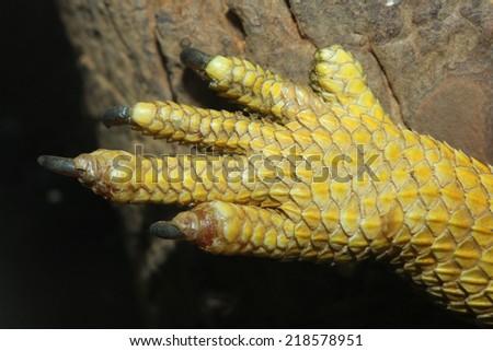close up leg bearded dragons  lizard - stock photo