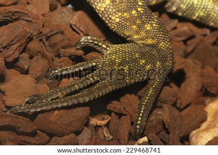 close up leg lizard - stock photo