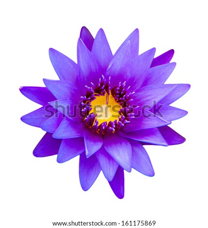 Close up light purple color blooming water lily or lotus flower isolated on white - with path - stock photo