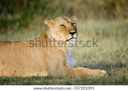 Close-up lion in National park of Kenya, Africa