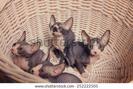 Close up Little Gray Sphynx Kittens Inside a Wooden Basket Looking Up with Wide Open Eyes. - stock photo