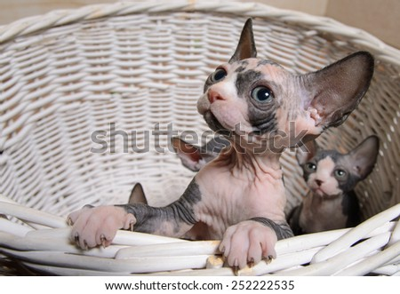 Close up Little Sphynx Cats Inside a Wooden Basket Looking Up. - stock photo