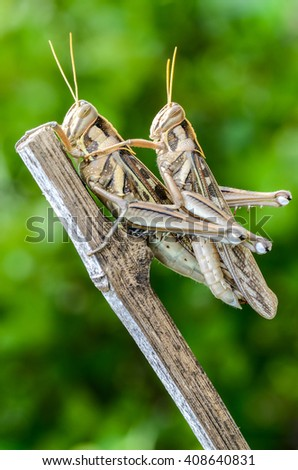 close-up locust pair on branches - stock photo