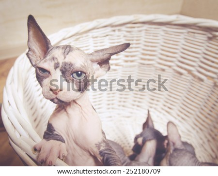 Close up Lonely Sphynx Kitten In a Wooden Basket Looking Afar with Wide Open Eyes. - stock photo