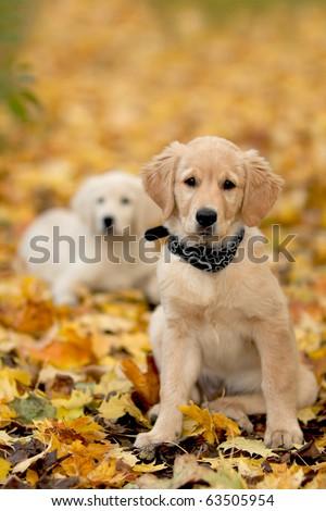 Close up look - puppy golden retriever very small focus - stock photo