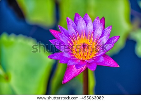 Close up Lotus flower and Lotus flower plants. - stock photo