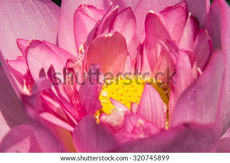 Close up Lotus flower background