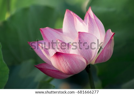 Closeup lotus flower background lotus symbol stock photo royalty close up lotus flower background lotus is symbol for vietnamese selective focus mightylinksfo