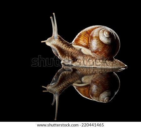 Close-up low angle view of Roman snail (Helix pomatia) isolated on black reflective  background  - stock photo