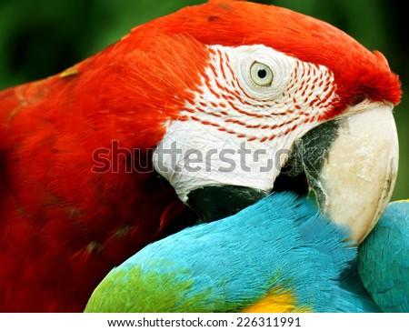 close up macaw (big parrot) - stock photo