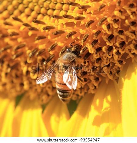 Close up macro bee working on sunflower - stock photo