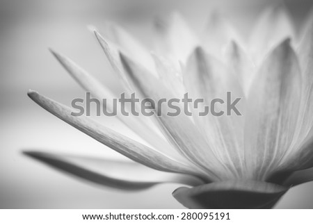 Close up macro black and white beautiful lotus - stock photo